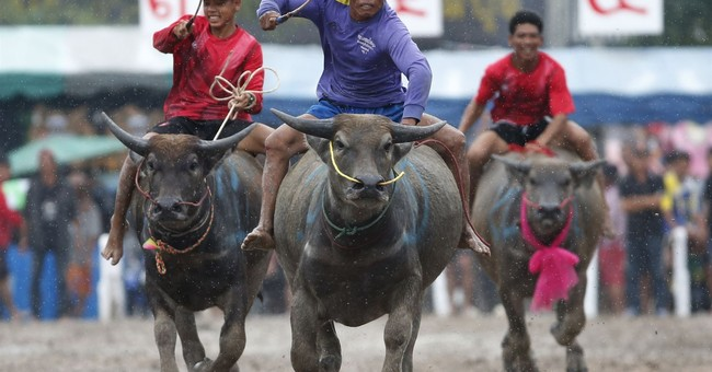 Image of Asia: Water buffaloes race before rice harvest