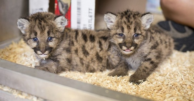 Toledo Zoo receives 3 orphaned cougar cubs from Washington
