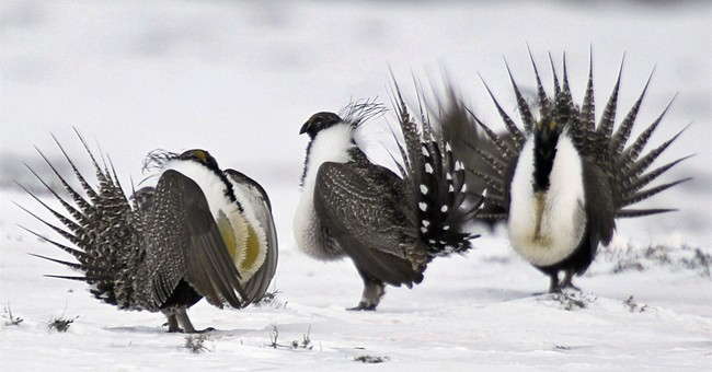 Feds remove protections for 10M acres of sage grouse habitat