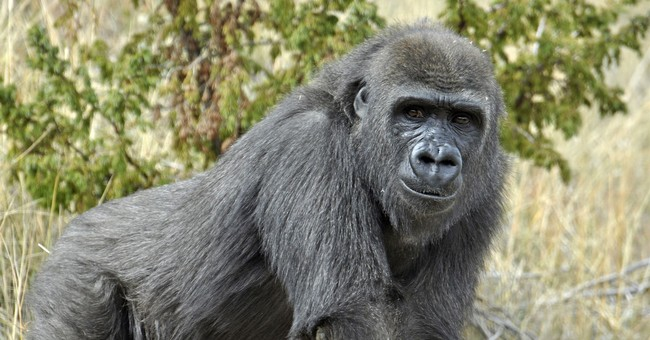 New gorilla at Audubon Zoo may stay indoors for a little bit