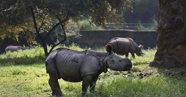 AP PHOTOS: 3 rhino calves survive Indian floods, sent to zoo
