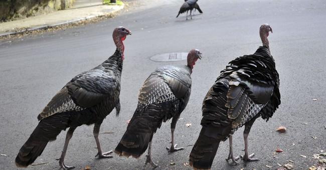 Birds gone wild: Resurgent turkeys spar with human neighbors