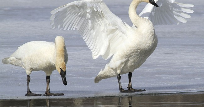 US agency's bid to allow trumpeter swan hunting draws fire