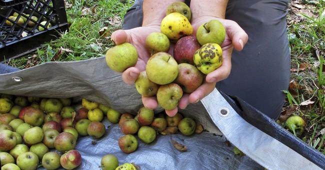 Cider-makers forage for old wild apple flavor
