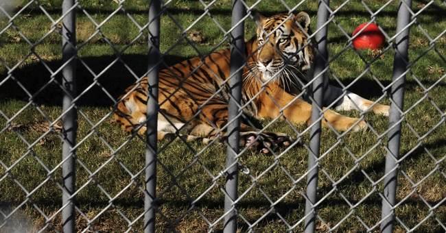 Tony the Louisiana truck-stop tiger dies, age 17