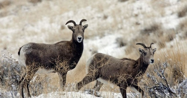 Lawsuit: Bighorn sheep threatened by domestic sheep grazing