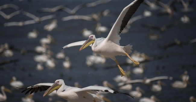 Israel to keep funding feeding ground for migrating pelicans