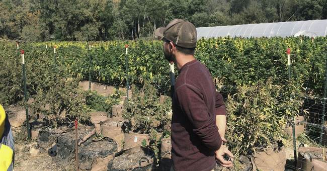 Blazes light up California pot farms ahead of legalization