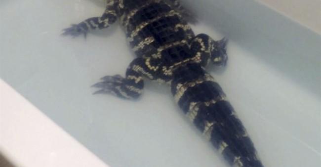 Alaska rescue group takes in alligator that outgrew bathtub