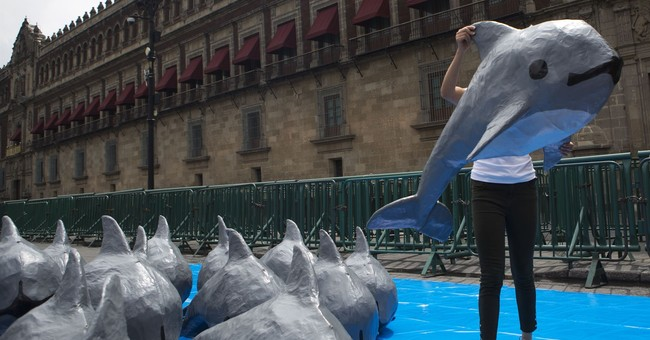 Searchers in Mexico find, but release, vaquita porpoise calf