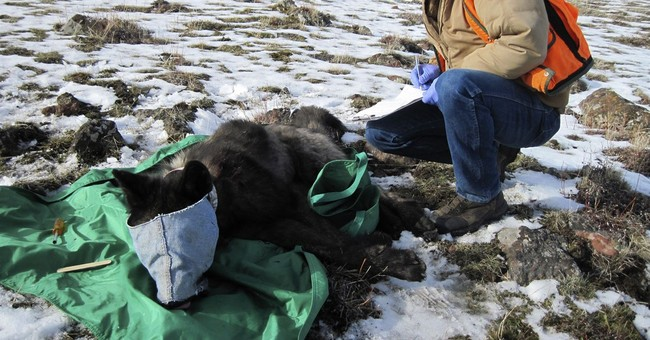 Reward offered for info on wolf-killing poacher in Oregon