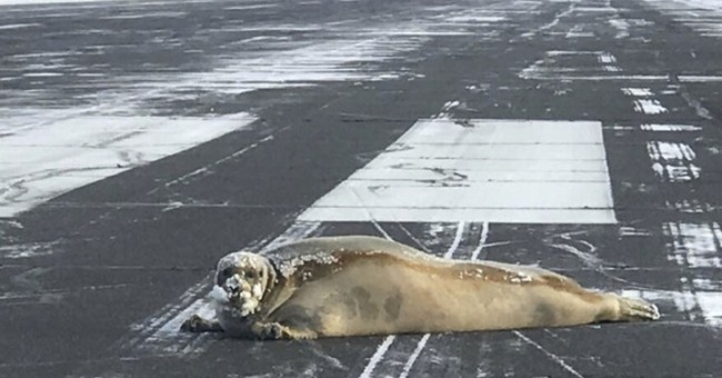 450-pound seal removed from northern Alaska airport's runway