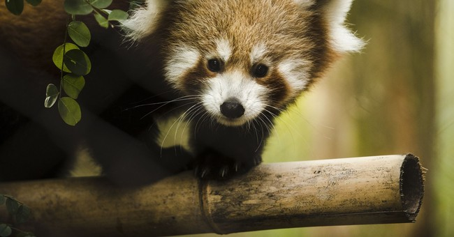 Red panda babies make debut at Philadelphia Zoo
