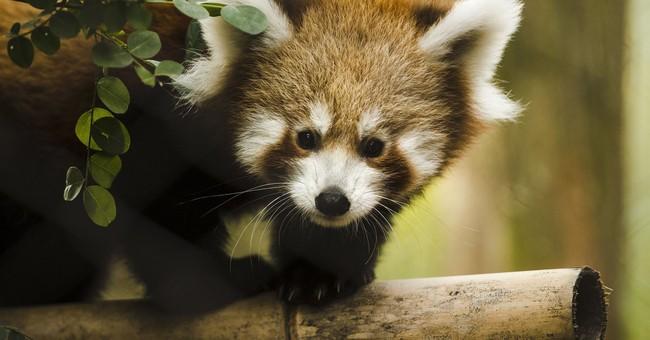 Red panda babies make debut at Philadelphia Zoo