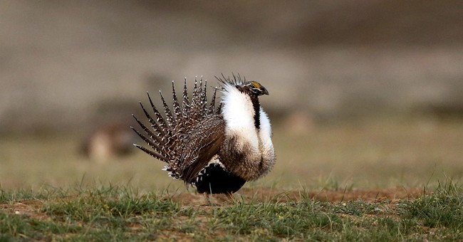 Western US sagebrush defense plan will endure, official says