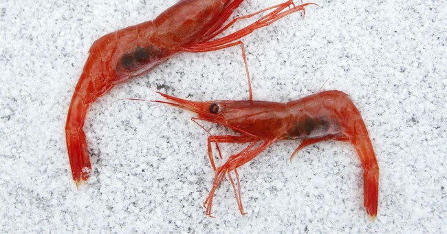 Seafood fans hope for return of Maine shrimp in 2018
