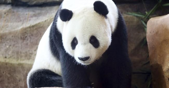 Giant panda sleeps through much of Indonesia media debut