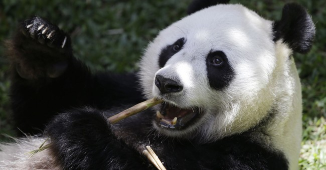 Giant panda sleeps through much of Indonesia media debut