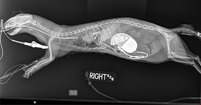 Ferret has successful pacemaker surgery at Kansas State