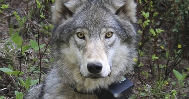 Third federally protected gray wolf killed in Oregon