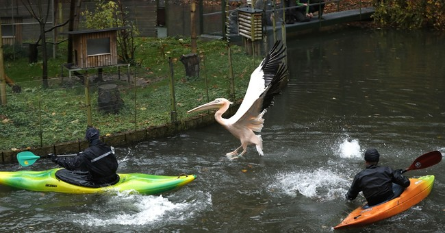 AP PHOTOS: Intrepid Czech zookeepers round up their pelicans