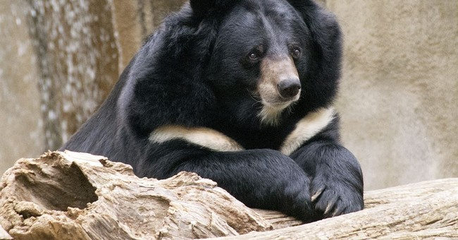 Philadelphia Zoo euthanizes popular Asiatic black bear