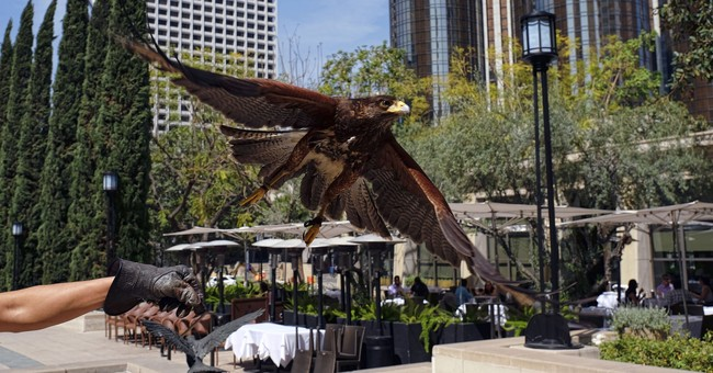 Husband-wife team uses hawks to scare off 'pest' birds in LA