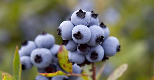 Maine blueberry harvest down as industry looks for buyers
