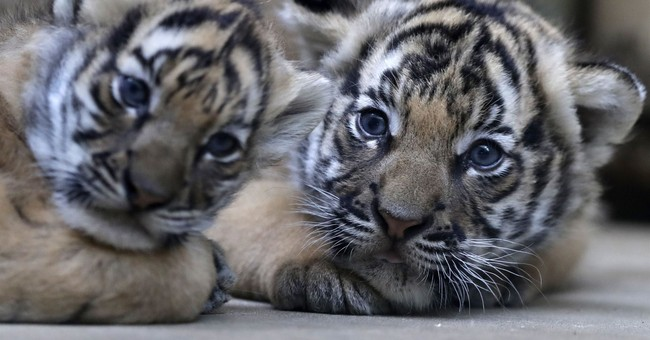 Critically endangered Malayan tiger twins born in Prague Zoo