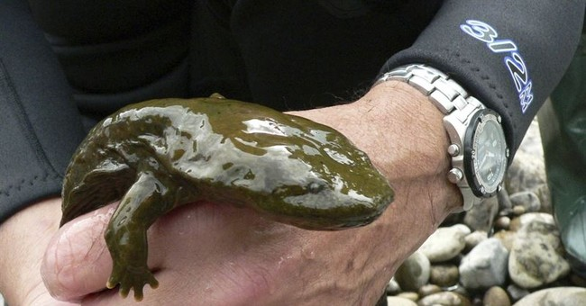 Showdown looming over official Pennsylvania amphibian