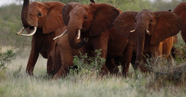 The Latest: GOP congressman calls for ban on elephant hunts