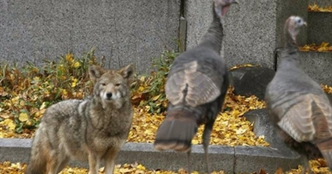 Getting more 'wolflike' is the key to the future for coyotes