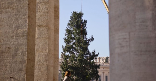 Towering Christmas tree arrives at Vatican from Poland