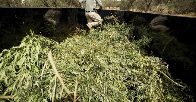Rush of pot grows splits rural California before legal sales