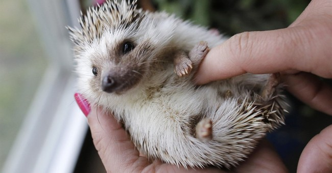 Maine students push for passage of prickly hedgehog pet bill
