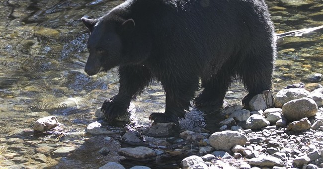 Black bears back in eastern Nevada after 80-year absence