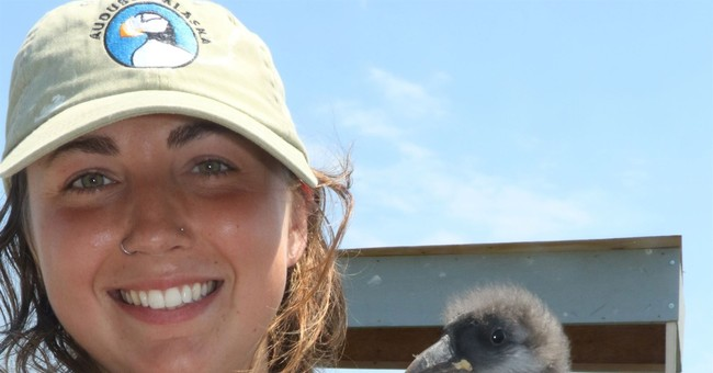 Beaked baby boomers: Record year for puffin chicks in Maine