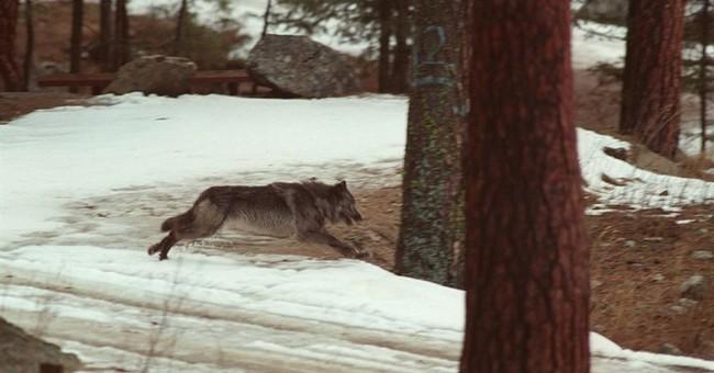 Idaho fighting order to destroy wilderness wolf, elk data