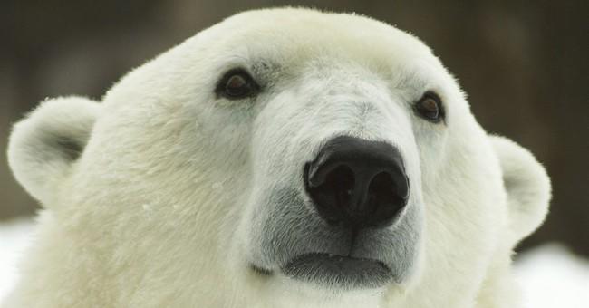 Oldest polar bear in US celebrates 37th birthday