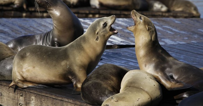 2 rare sea lion attacks shut down cove in San Francisco Bay