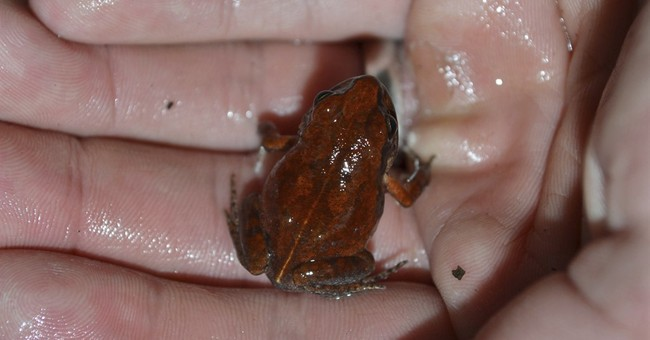 The cave squeaker returns: Rare frog seen after decades