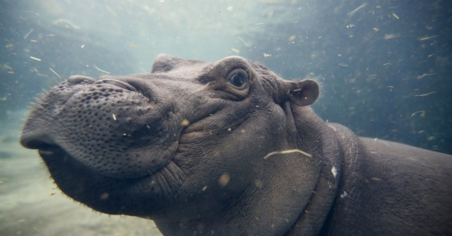 Famous hippo Fiona nears 1st birthday after up-and-down year