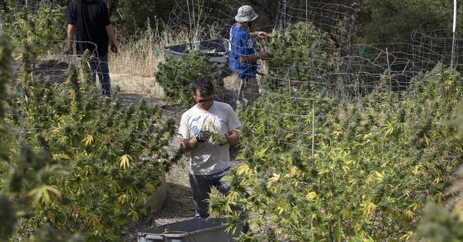 Burners beware: California pot sold Jan. 1 could be tainted
