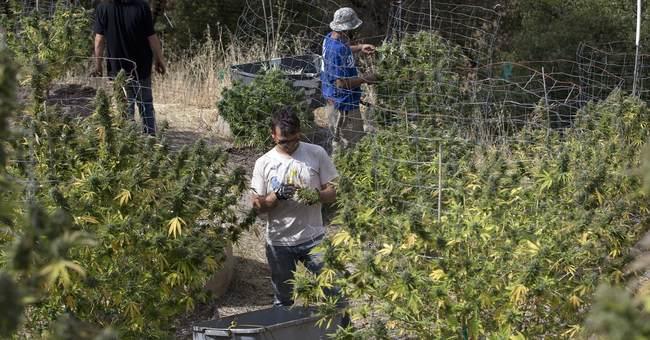 Burners beware: California pot sold Jan. 1 could be tainted