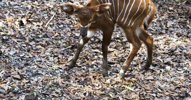 Baby bongo born, more likely soon at Species Survival Center