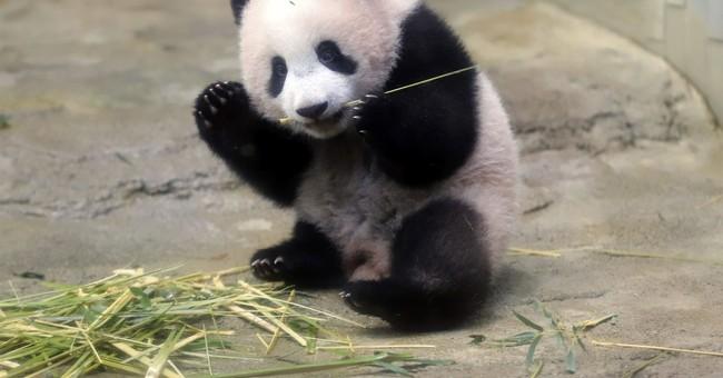 AP PHOTOS: Tokyo baby panda melts hearts of fans in debut
