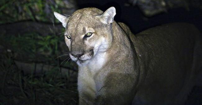 Rat poison found in body of California mountain lion