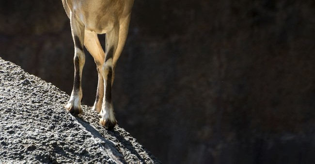 Los Angeles Zoo euthanizes herd of threatened goats