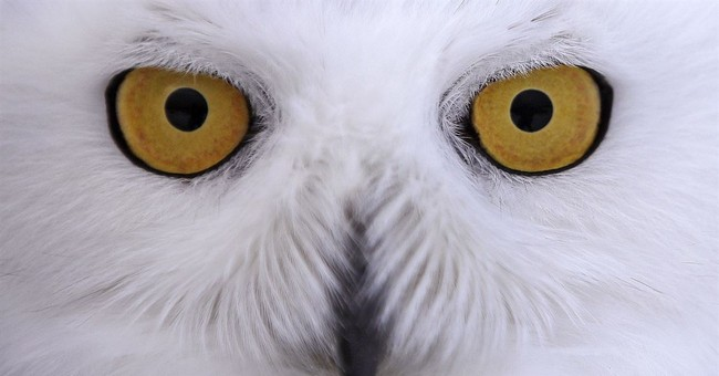 Snowy owls wintering in US fitted with tiny tracking devices