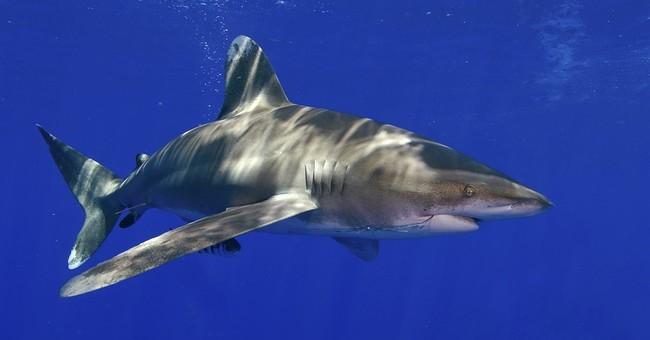 US: Oceanic whitetip shark warrants 'threatened' listing